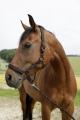 Pferdehalfter für GoLeyGo-Verschluss